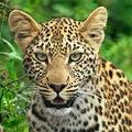 Vendetta Leopard